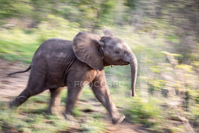 Profil latéral d'un veau éléphant, Loxodonta africana, courant à travers la verdure, flou de mouvement — Photo de stock