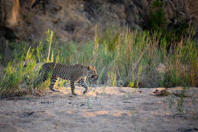 Leopardo, Panthera pardus, caminando a través de un banco de arena, pierna delantera levantada, mirando fuera de marco, luz solar - foto de stock