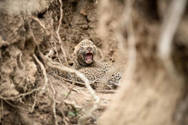 Cuccioli di leopardo appena nati, Panthera pardus, sdraiati insieme tra radici e pareti di fango, un cucciolo lo apre bocca ad occhi chiusi — Foto stock