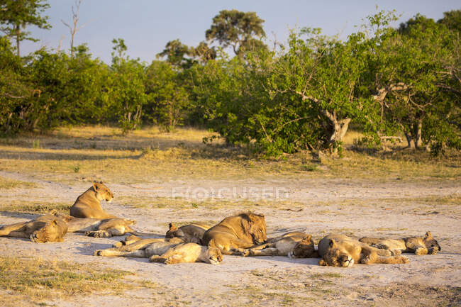 A pride of lions resting in the sun in open space on the edge of woodland. — Stock Photo