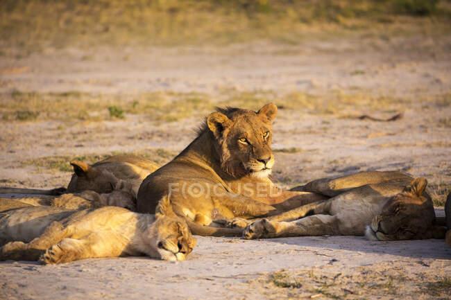 Eine Gruppe Löwen ruht sich im Schatten aus. — Stockfoto