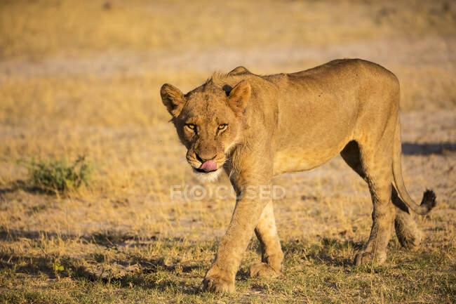 Lionne sur ses pieds, marchant sur le sable. — Photo de stock