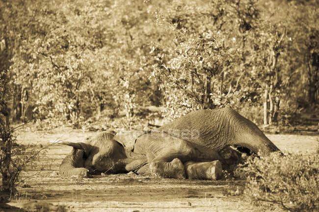 Una carcassa di elefante morta nel cespuglio. — Foto stock