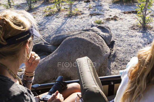 Два человека в машине смотрят на труп слона. — стоковое фото