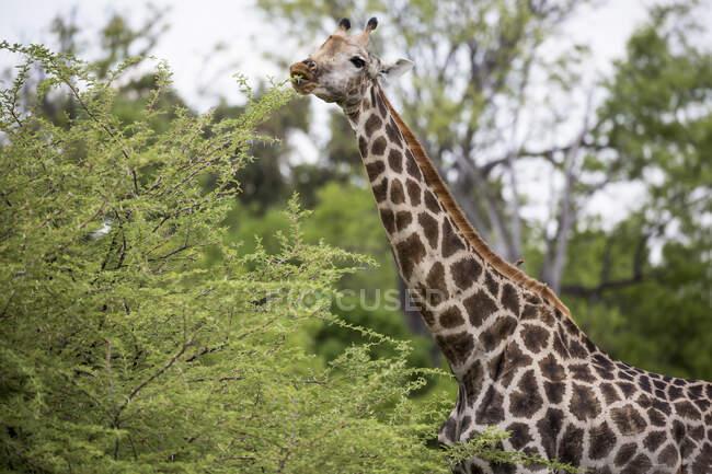 Girafe, réserve de chasse de Moremi, Botswana — Photo de stock