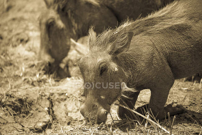 Warzenschweine, Moremi Wildreservat, Botswana — Stockfoto