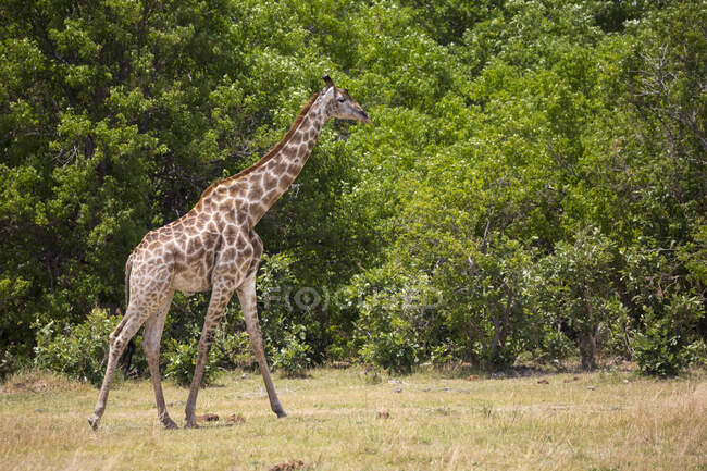 Giraffe, Moremi Reserve, Botswana — Stockfoto