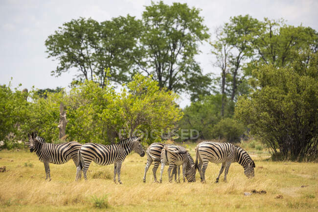 Burchells Zebras, Moremi Reserve, Botswana — Stock Photo