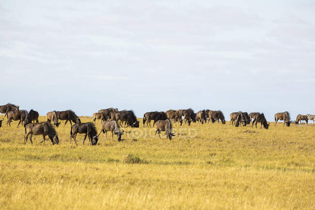 Herd of wildebeest, Kalahari Desert. — Stock Photo