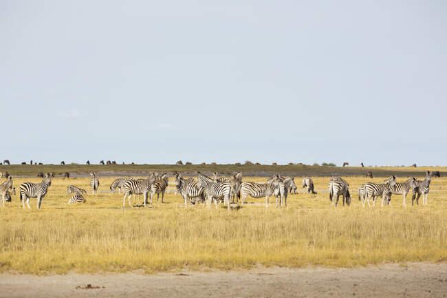 Raza de Zebras de Burchell, Desierto de Kalahari. - foto de stock
