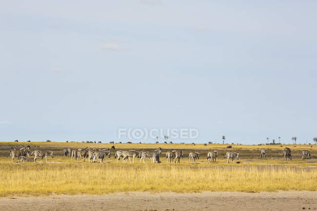 Gran manada de Zebras de Burchell, desierto de Kalahari. - foto de stock