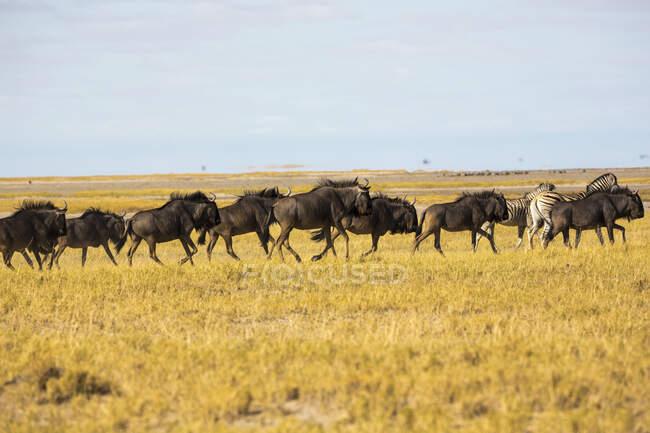 Branco di gnu nel deserto del Kalahari — Foto stock