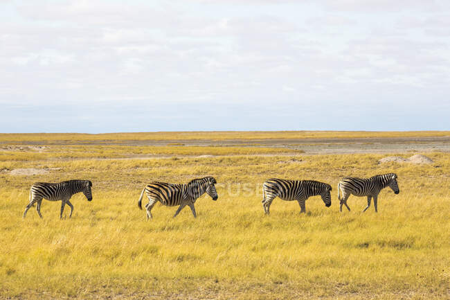 Burchell's Zebras, Kalahari Desert — Stock Photo