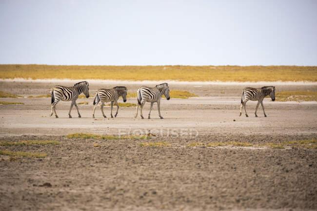 Quattro zebre di Burchells che attraversano la superficie asciutta del deserto del Kalahari — Foto stock