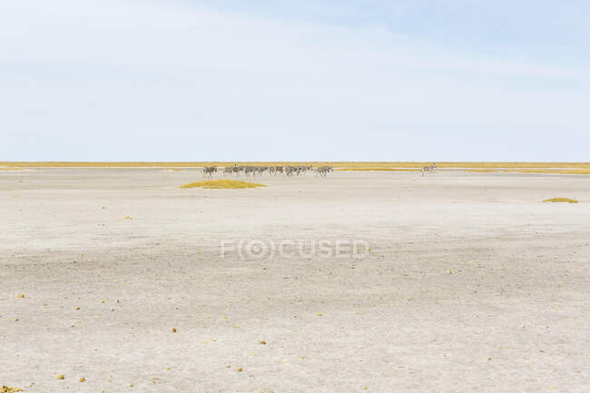 Las zebras de Burchell, un pequeño grupo de animales del Desierto de Kalahari., - foto de stock
