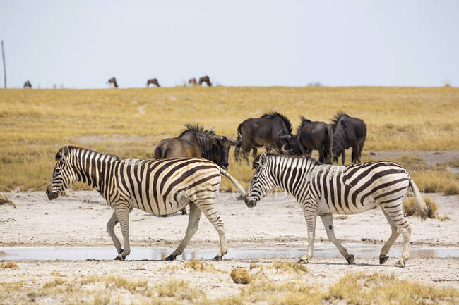 Burchell's zebras and Wildebeest, Kalahari Desert, Makgadikgadi Salt Pans, Botswana — Stock Photo