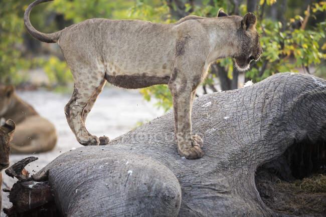 Eine Löwin steht auf einem toten Elefantenkadaver. — Stockfoto
