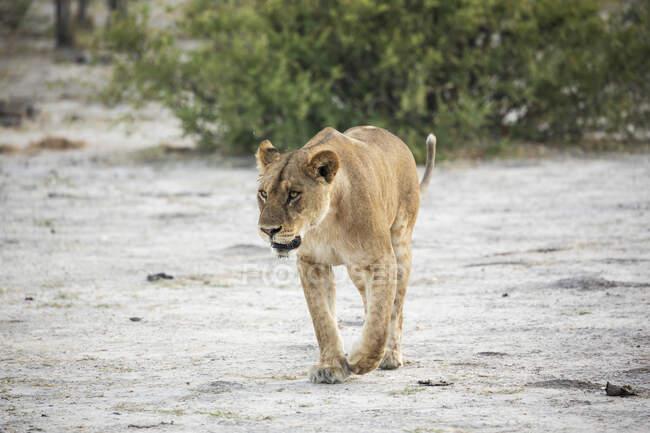 Ein erwachsenes Löwenweibchen in freier Wildbahn — Stockfoto
