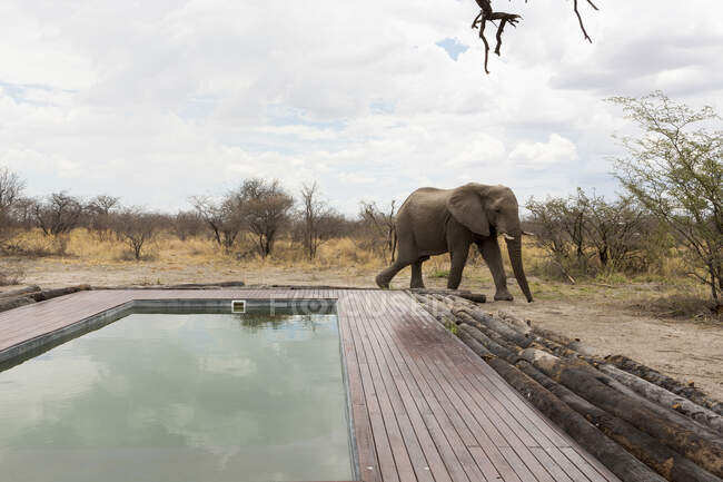 An elephant standing beside a swimming pool. — Stock Photo