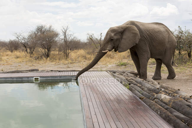 An elephant drinking with its trunk from a wildlife reserve camp swimming pool. — Stock Photo