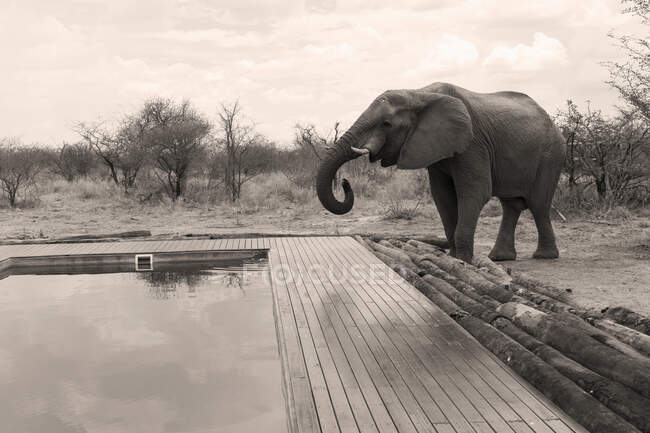 Mature elephant beside a swimming pool. — Stock Photo