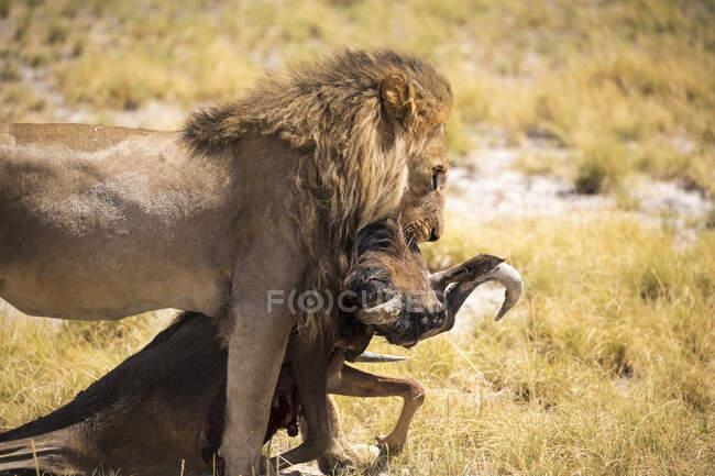 Männlicher Löwe und totes Gnu, Kalahari-Wüste — Stockfoto