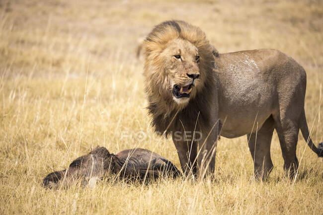 Lion mâle et gnous morts, désert du Kalahari — Photo de stock