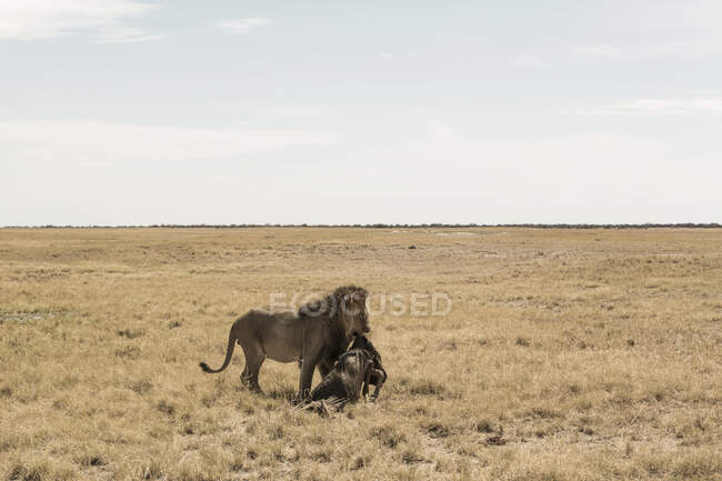Male lion and dead wildebeest, Kalahari Desert — Stock Photo