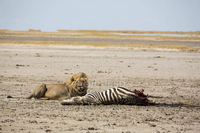 An adult male lion and a kill, a dead Burchell's Zebra. — Stock Photo