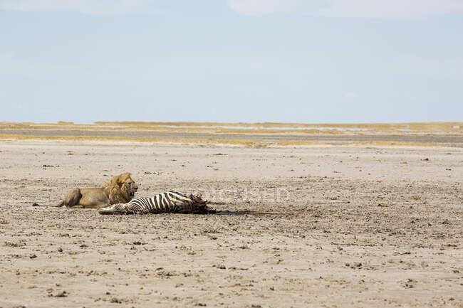 Lion mâle adulte et un meurtre, un zèbre de Burchell mort. — Photo de stock