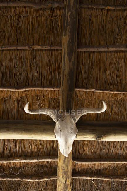 Crâne d'animal avec cornes courbes sur une poutre sous un toit. — Photo de stock