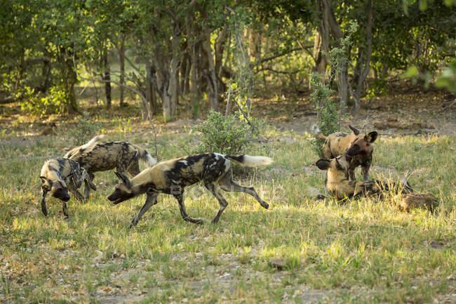 Rudel wilder Hunde im Wald. — Stockfoto