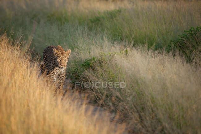 Léopard, Panthera pardus, marchant sur une piste, encadrée par de l'herbe, marchant vers la caméra — Photo de stock