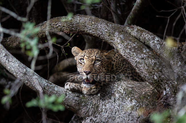 Leopard, Panthera pardus, peering between tree roots, looking out of frame, mouth open — Stock Photo