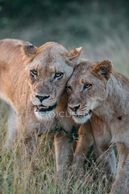 A lioness, Panthera leo, bumping heads with her cub, looking out of frame — Stock Photo