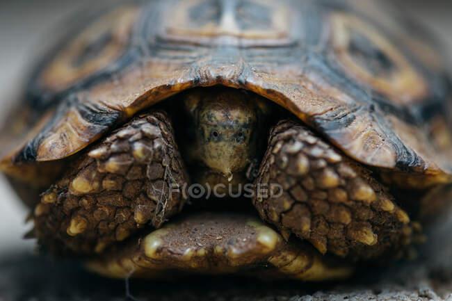 Gros plan d'une tortue léopard, Stigmochelys pardalis, pieds et tête sortant de sa coquille — Photo de stock