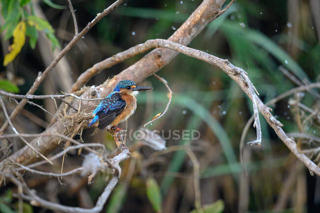 A juvenile malachite kingfisher, Corythornis cristatus, perching on a branch, looking out of frame — Stock Photo