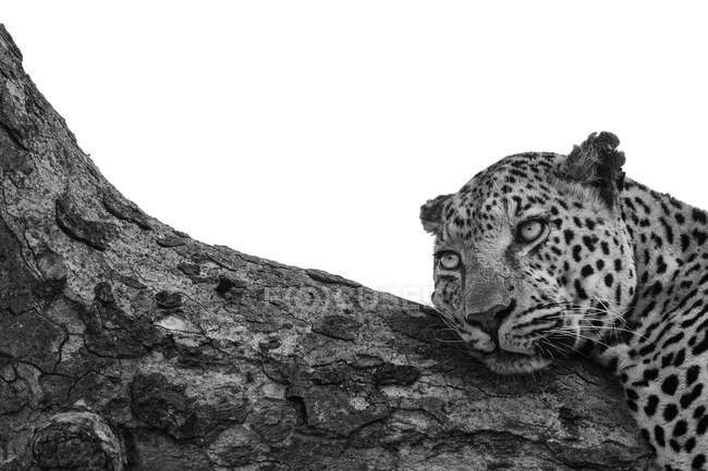 Leopard, Panthera pardus, lying down on a branch, looking out of frame, black and white, whited out background — Stock Photo