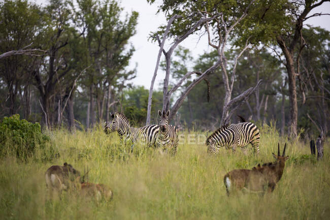 Group of oryx and zebras in long grass, heads raised. — Stock Photo