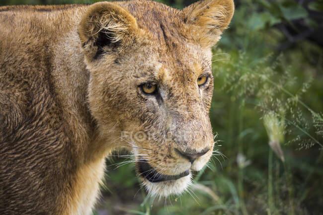 Gros plan, lion femelle, tête et épaules. — Photo de stock