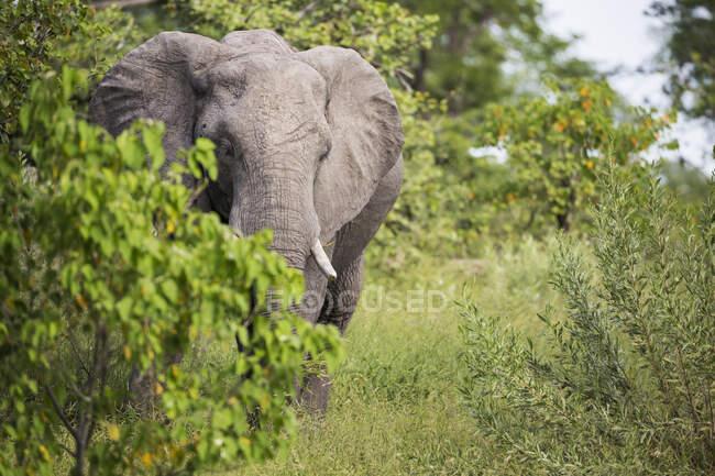 Elefante africano con zanne, Loxodonta africana, tra gli alberi nel cespuglio. — Foto stock