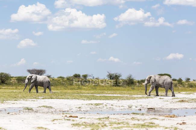 Due elefanti a Nxai Pan, Botswana — Foto stock