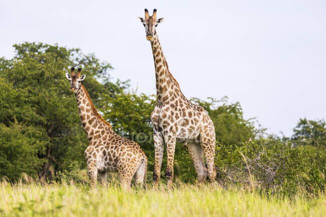 Schöne Giraffen in der Tierwelt, Nxai Pan, Botswana — Stockfoto