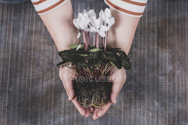 Frau mit einer weißen Cyclamenpflanze mit leuchtend grünen Blättern und Wurzeln — Stockfoto