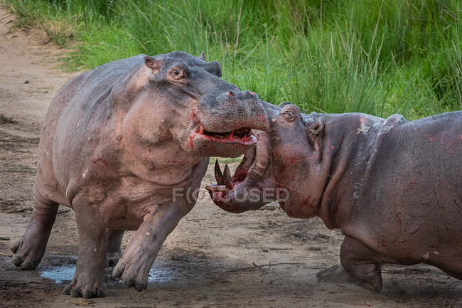 Two hippos, Hippopotamus amphibius, fighting on land, mouth open, blood visible — Stock Photo