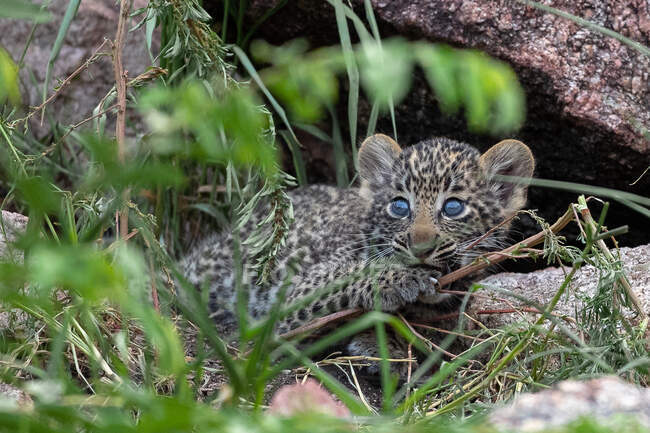 Leopard cub, Panthera pardus, lying between grass, looking out of frame, blue eyes — Stock Photo