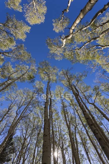 Восени на широких кутах видніються високі осині дерева. — стокове фото