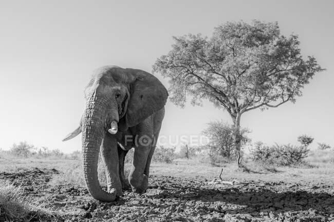 Самець слона, Loxodonta africana, йде до камери.. — стокове фото