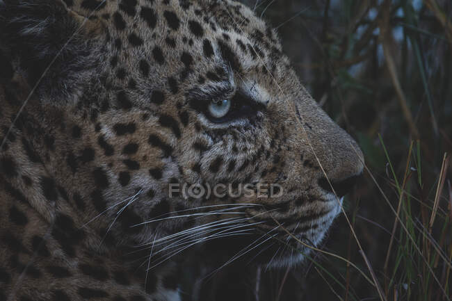 Primo piano della testa di leopardo, Panthera pardus al crepuscolo. — Foto stock