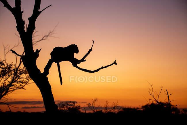 Silhouette d'un léopard, Panthera pardus, couché dans un arbre mort au coucher du soleil. — Photo de stock